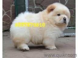 Chippiparai dog price in Mumbai