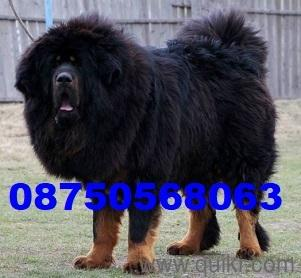 for adoption super good best linges tibetan mastiff puppies male 2