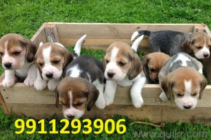 By B Hints || Rottweiler Puppies In Pakistan