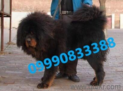 for adoption lione tibetan mastiff puppies best linges good in