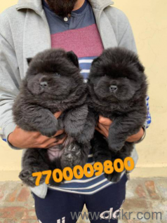 Olx dogs for sale in Patiala