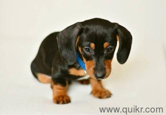 for adoption 8197195271 daschund puppies | Quikr