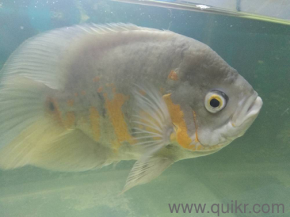 Guppy fish for sale navi mumbai in Mumbai