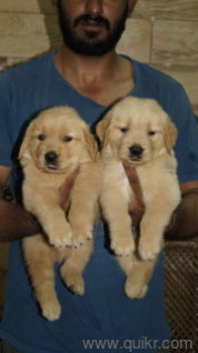 for adoption gulati kennel 9812166600  french dog english
