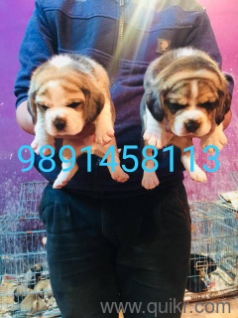Free beagle puppies for adoption in Delhi