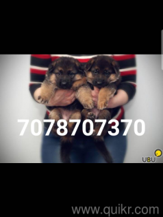 Dog for sale in olx in Gwalior