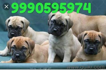 for adoption 9711384422 call me rottwailer mastiff beagle