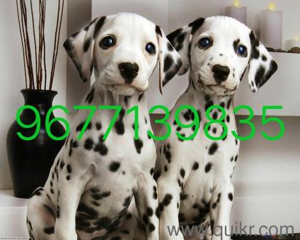 Shiba puppies in Coimbatore