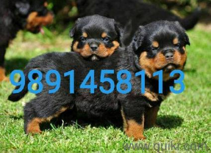 Dog for sale in olx in Rudrapur