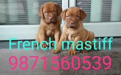 American bully in All Quikr