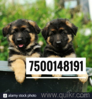 Dog for sale in olx in Allahabad