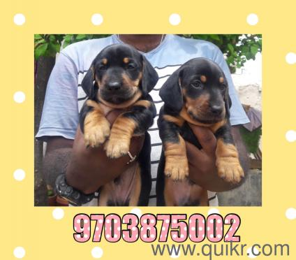 for adoption 9703875002 superb quality dachshund puppies | Quikr