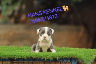 Beagle puppies for sale in Jalandhar