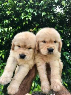 Dog for sale in olx in Pathankot