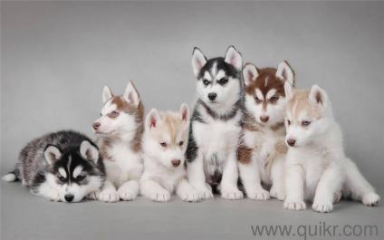 Siberian Husky Puppy Blue Eyes In Pune