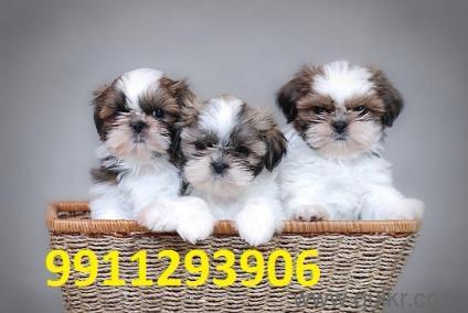 Breed Shih Tzu Poodle Shar Pei Maltese