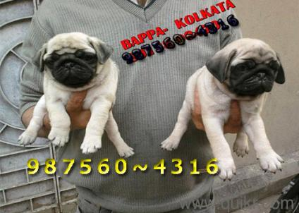 Pug For Sale Rs 5000 In Raipur