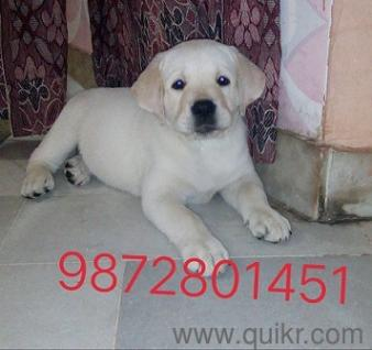 Labrador Puppies For 5000 In Chandigarh