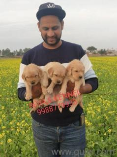 Golden Retriever Puppies In Chandigarh