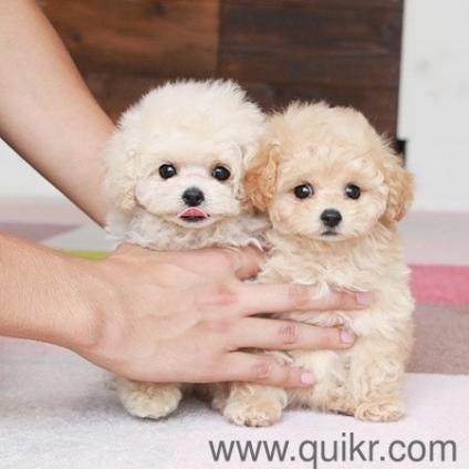 For Adoption Teacup Poodle Puppies