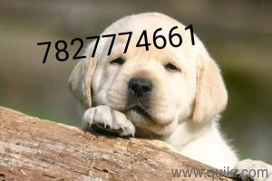 Golden Retriever Price In Indore