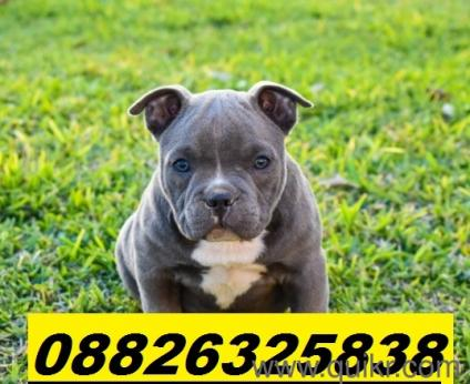 American Pitbull For Sale In Kerala In Bangalore