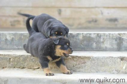 Rottweiler Puppies In Chennai