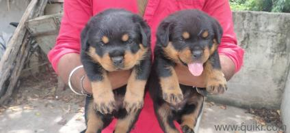 Rottweiler For Rs 5000 In Chennai