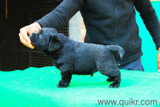 Tea Cup Puppies In All Quikr