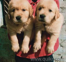 Golden Retriever Puppies In Goa